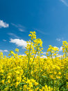 Rape field oil seed under the blue sky with little clouds Stock Images