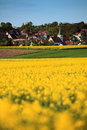 Rape field and rural village Royalty Free Stock Photo