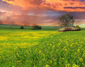Rape field at sunset Stock Photos