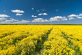 Rape field way flowering yellow and clouds in blue sky Royalty Free Stock Photo
