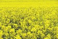 Rape field yellow in bloom Stock Photography