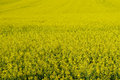 Rape field yellow in bloom nature background Stock Photo