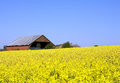 Rape field yellow on a blue sky Stock Photo