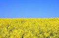 Rape field yellow and green trees Stock Photography