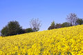 Rape field yellow and green trees Stock Photos