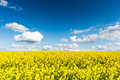 Rape fields in country under blue sky with white clouds Royalty Free Stock Photo