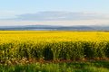 Rape fields in Romania Royalty Free Stock Photo