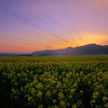 Rape fields at sunset Royalty Free Stock Photography