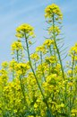 Rape flower Stock Photography