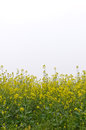 Rape flower bloom in the spring Stock Photos