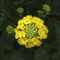 Rape flower closeup Royalty Free Stock Photo