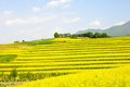 Rape flower Terraced fields Royalty Free Stock Photo