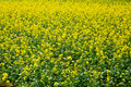 Rape flowers field Royalty Free Stock Photography