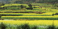 Rape plant flower field of china Stock Image