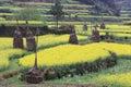 Rape plant flower field of china Royalty Free Stock Photos