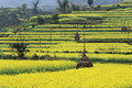 Rape plant flower field of china Royalty Free Stock Photo