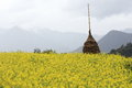 Rape plant flower field of china Stock Photo