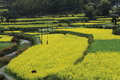 Rape plant flower field of china Royalty Free Stock Image