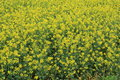 Rape plant flower field of china Royalty Free Stock Photography