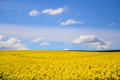 Rape seed field with blue sky Royalty Free Stock Photo