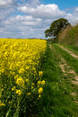 Rape seed field footpath by the side of a Stock Photos