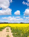 Rape seed field footpath by the side of a Stock Image