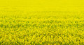 Rape seed field full of yellow color Royalty Free Stock Photos