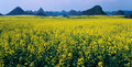 Rape seed field panorama Royalty Free Stock Photo