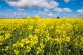Rape seed field set against the blue cloudy sky Stock Photos