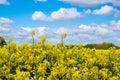 Rape seed field set against the blue cloudy sky Stock Photo