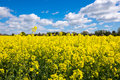 Rape Seed Field Royalty Free Stock Photo