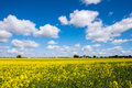 Rape seed field set against the blue cloudy sky Royalty Free Stock Image