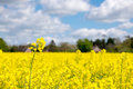 Rape seed field set against the blue cloudy sky Royalty Free Stock Photos