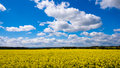 Rape seed field set against the blue cloudy sky Royalty Free Stock Images