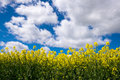 Rape seed field set against the blue cloudy sky taken from a low position of view looking upwards Stock Photos