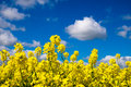Rape seed field set against the blue cloudy sky taken from a low position of view looking upwards Stock Image