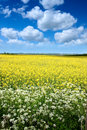 Rape seed field in summer Stock Photography