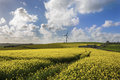 Rape seed field on sunny day with wind turbine in background Royalty Free Stock Photo