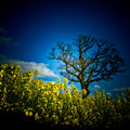 Rape seed field with a tree Julian Bound Royalty Free Stock Photo