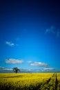 Rape seed field with tree, path and cloud Julian B Royalty Free Stock Photo