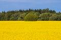 Rape seed field Royalty Free Stock Photo