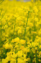 Rape Seed flowers Royalty Free Stock Photo