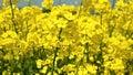 Rape seed flowers