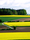 Rape seed in spring with meadows Royalty Free Stock Photography
