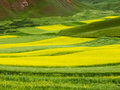 Rape terraced field Royalty Free Stock Photography