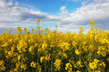 Rape yellow field with sky Royalty Free Stock Photo