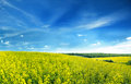 Rapeseed Royalty Free Stock Photo