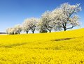 Rapeseed, canola or colza and alley of cherry trees Royalty Free Stock Photo