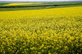 Rapeseed cultivation th in romania Stock Photo
