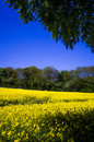 Rapeseed field in bloom in east yorkshire Stock Images